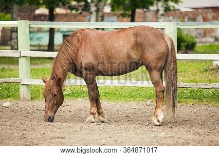 Brown Horse At The Farm. Red Mare Grazing