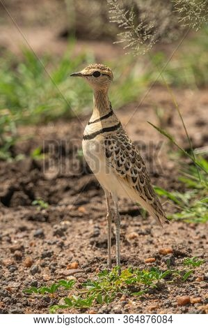 Two-banded Courser Stands By Grass Facing Left