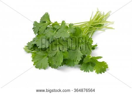 Bunch of fresh green picked cilantro isolated on white background