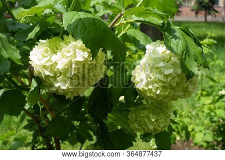 3 Round White Inflorescences Of Viburnum Opulus Sterile In May