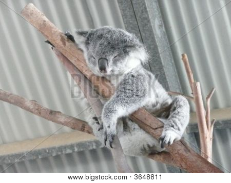 A fluffy Koala asleep in between two branches in open area of little zoo just off the Coastal Highway near Wauchope. poster