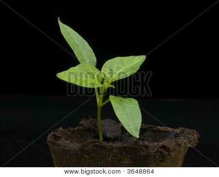 Pepper Seedling 12