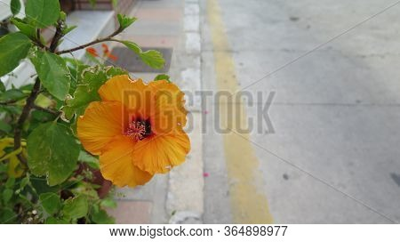 Closeup Of Orange Hawaian Hibiscus Flower On Pavement In Andalusia