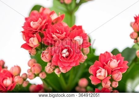 Flaming Katy Plant With Red Flowers In A Pot Isolated On White Background - Close Up