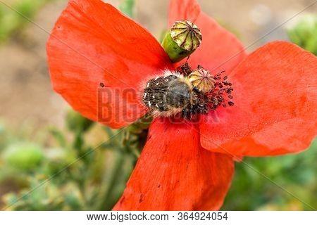 Remembrance Day, Anzac Day, Serenity. Opium Poppy, Botanical Plant, Ecology. Poppy Flower Field, Har