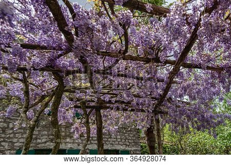 Blooming Wisteria On A Wooden Pergola. Stone House On The Background. Sunny Day
