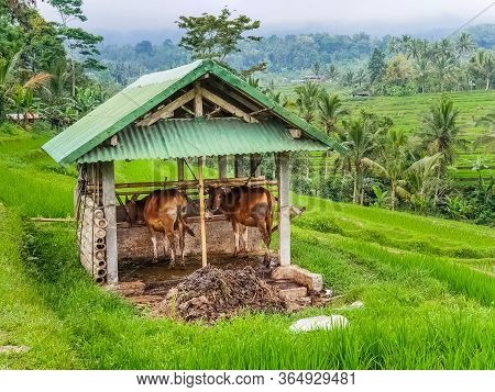Two Cows In A Cowshed On Rice Terraces Jatiluwih, Bali, Indonesia