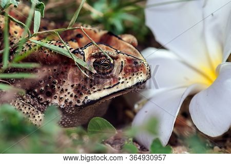 Large Tropical Toad Close-up. The Toad Hid In Front Of A Snow-white Flower. Sri Lanka.