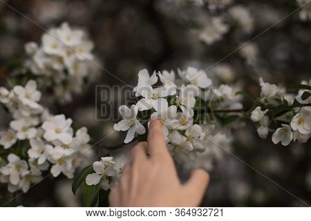 Girl's Hand Reaches For The Flowers Of A Blossoming Apple Tree. The Girl Reaches For A Blossoming Ap