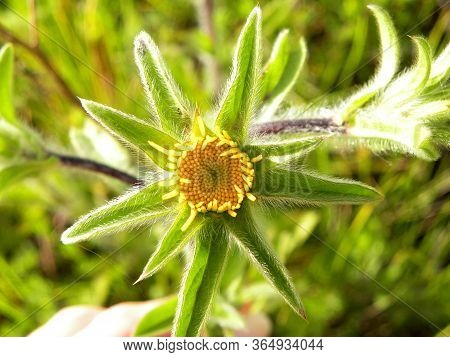 Close Up Of Spiny Starwort Yellow Flower - Latin Name - Pallenis Spinosa. The Family Asteraceae. It