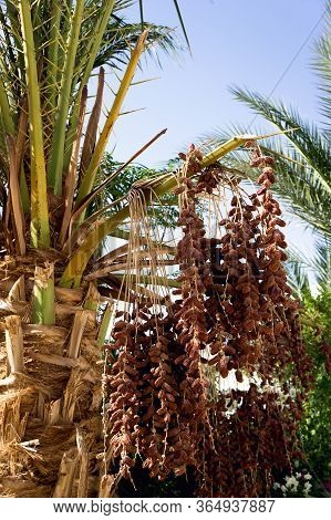 Date Palm With Bunches Of Dates Close-up.