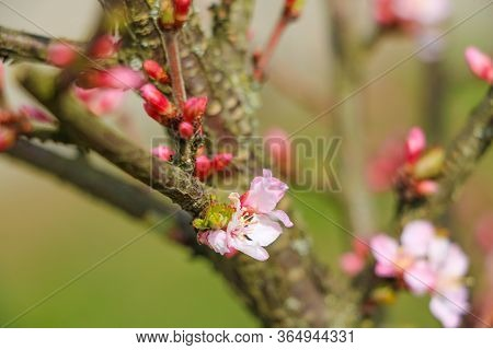 Cherry Tree In White Flowers. Full Bloomed Sweet Cherry Twig Blossoms