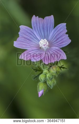 Close-up Of Mauve Wild Flower On Green Background. View From Above.