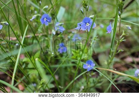 Little Blue Flowers In The Forest. Veronica Chamaedrys, The Germander Speedwell, Bird's-eye Speedwel
