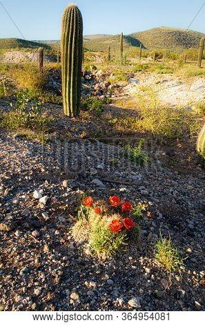 The Brilliant Red Blossoms Of The Hedgehog Cactus (echinocereus Engelmannii) With A Saguaro Cactus I