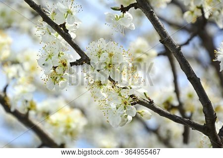 Hite Flowers Of A Cherry Against The Blue Sky. Close-up. Spring Flowering