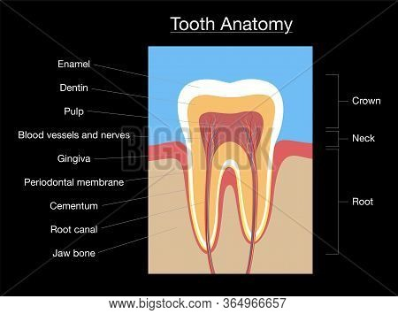 Tooth Anatomy, Medical Labeled Cross Section Chart With Enamel, Dentin, Pulp, Gingiva, Blood Vessels