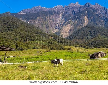 View Of The Majestic Mount Kinabalu With Dairy Cows Pasture In Green Meadow In Desa Cattle Dairy Far