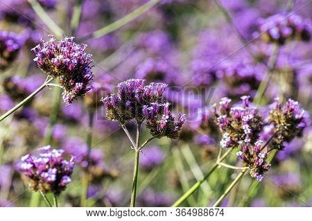 Verbena Bonariensis Known As Purpletop, Clustertop, South American, Brazilian Or Argentinian Vervain