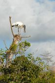 An endangered Florida wood stork lands in a tree to eat his fish. poster
