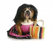 female dog - english bulldog wearing wig and dress sitting beside purse poster