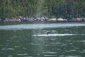 whale safari on Alaska poster
