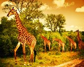 Image of a South African giraffes, big family graze in the wild forest, wildlife animals safari, Kruger National Park, bushes of Sabi Sand game drive reserve, beautiful nature of Africa continent poster