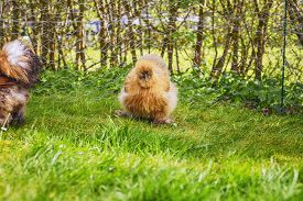 Silkie Hens In A Rural Backyard Garden In The Spring With Beautiful Sunshine