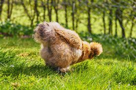 Silkie Hen Looking For Food In Fresh Green Grass In The Springtime