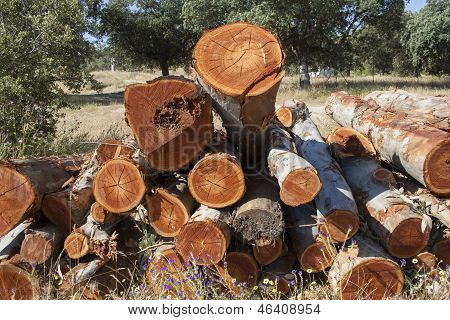 Timber Cutting Trees