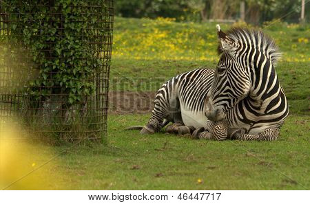 A Grevy's Zebra resting in a zoo