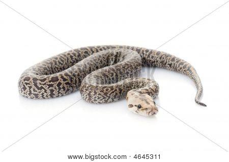 Granite Burmese Python (2.0 Albino Het)