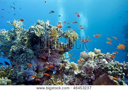 coral reef with hard corals and exotic fishes anthias at the bottom of tropical sea on blue water ba