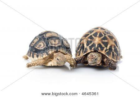 Indian Star & Leopard Tortoises