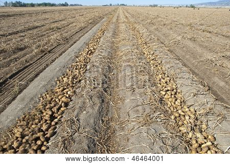 Rows of Idaho Russet Potatoes being harvested poster
