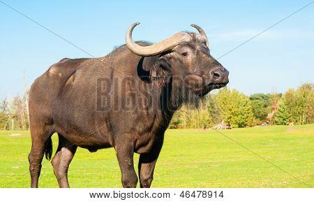 Buffalo Portrait