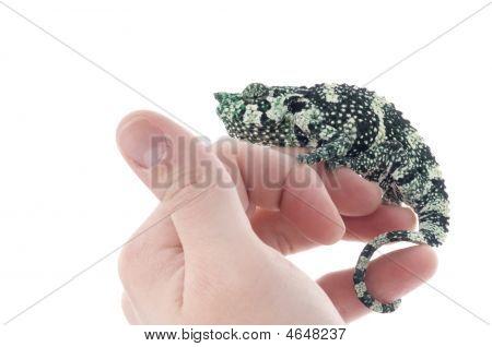 Meller Chameleon