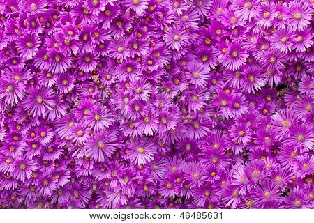 Wall Of Purple Flowers