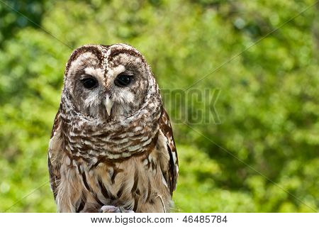 A close up of a Barred Owl poster