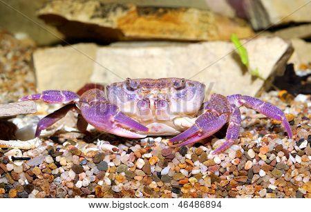 River Crab Potamon Sp. In Aquariu. Purple Morph