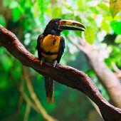 Collared Aracari Agarrado Pteroglossus torquatus toucan bird poster