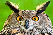 A close up of a Eurasian Eagle-Owl poster