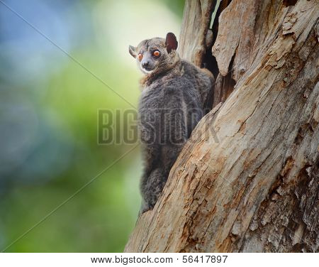 Red tailed Sportive Lemur (Lepilemur ruficaudatus) sitting on a tree at early morning in Kirindy forest reserve. Madagascar.