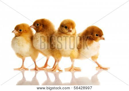 Group of small chicks. Isolated on white.