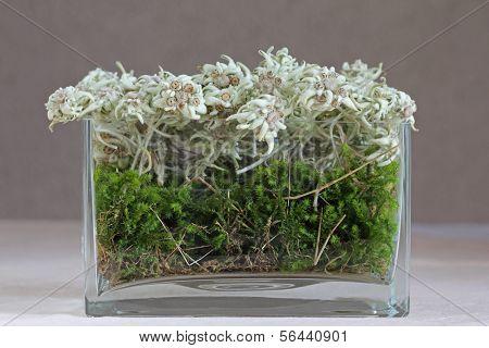 A vase of mountain flower - Edelweiss (Leontopodium alpinum) in Austria
