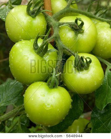 Unripened green tomatos on the vine