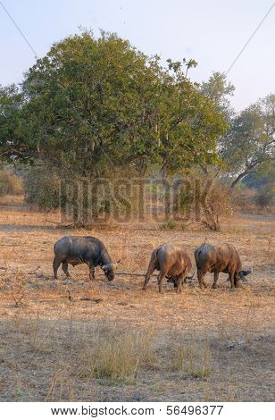 Buffaloes walking in South Luangwa National Park, Zambia, Africa
