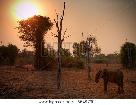 Elephant in South Luangwa National Park in dusk, Zambia, Africa