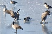 Canada Geese Landing on Ice of a Frozen Lake poster