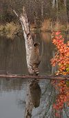 Raccoon (Procyon lotor) Starts Climb Up Tree - with Reflection - captive animal poster